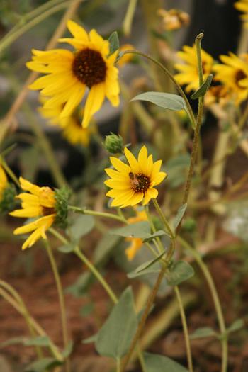 Bee_sunflower_2