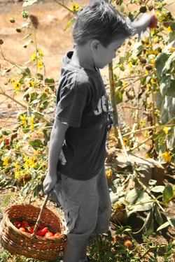 Gtomatoes